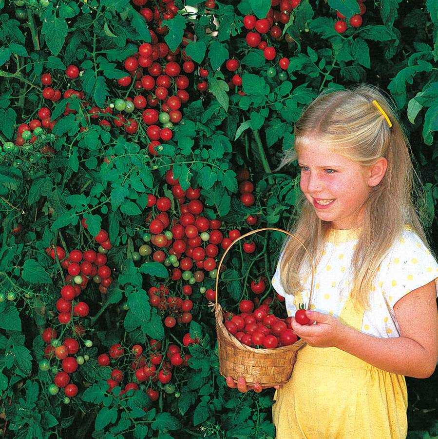 Sweet Million Hybrid Cherry Tomato Seeds Image