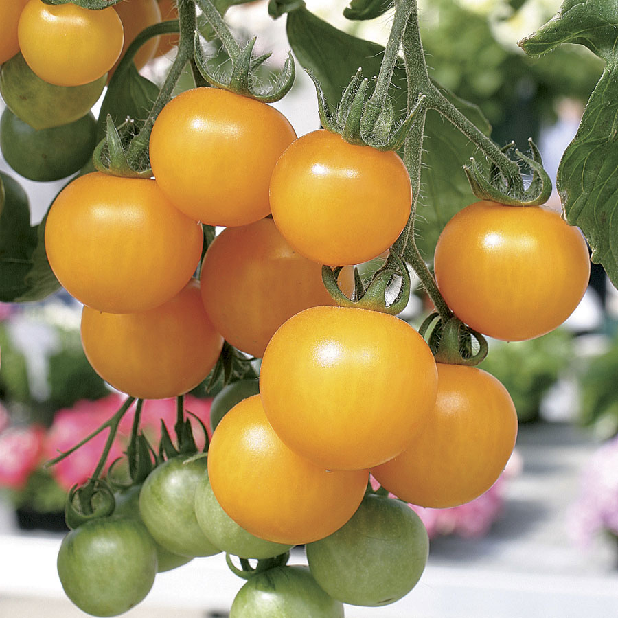 Tumbling Tom Yellow Tomato Seeds from Park Seed