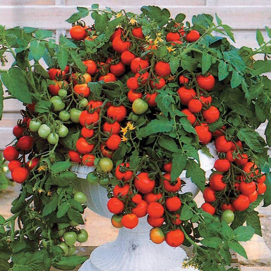 Maskotka Hybrid Tomato Seeds From Park Seed