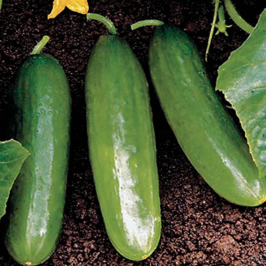 20 seeds  non-gmo Cucumber Diva