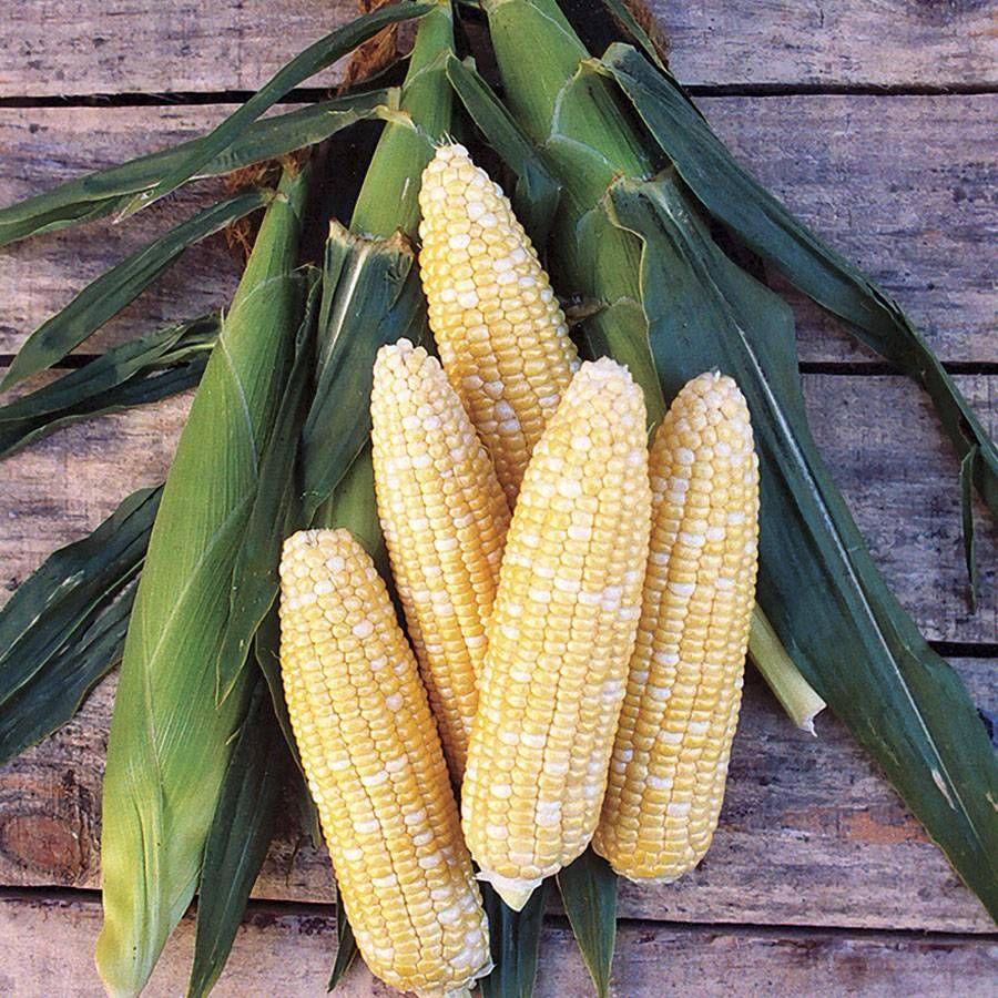 Bicolor Mirai 301bc Corn Seeds