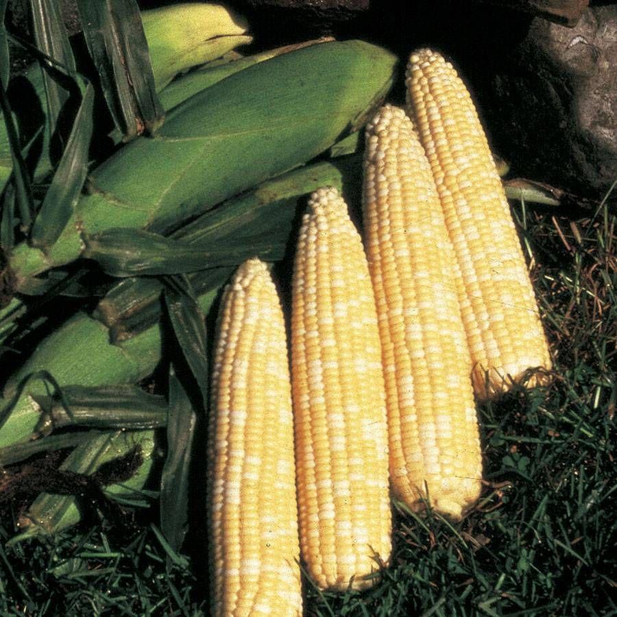 Honey N Pearl Hybrid Corn Seeds