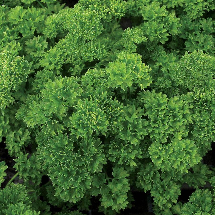 Lisette Parsley Seeds Image