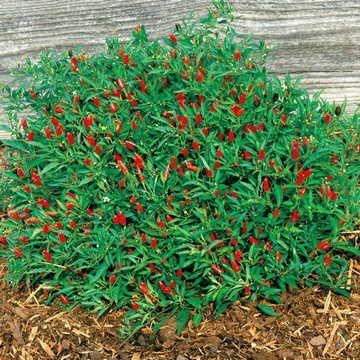 Thai Hot Pepper Seeds     bin77