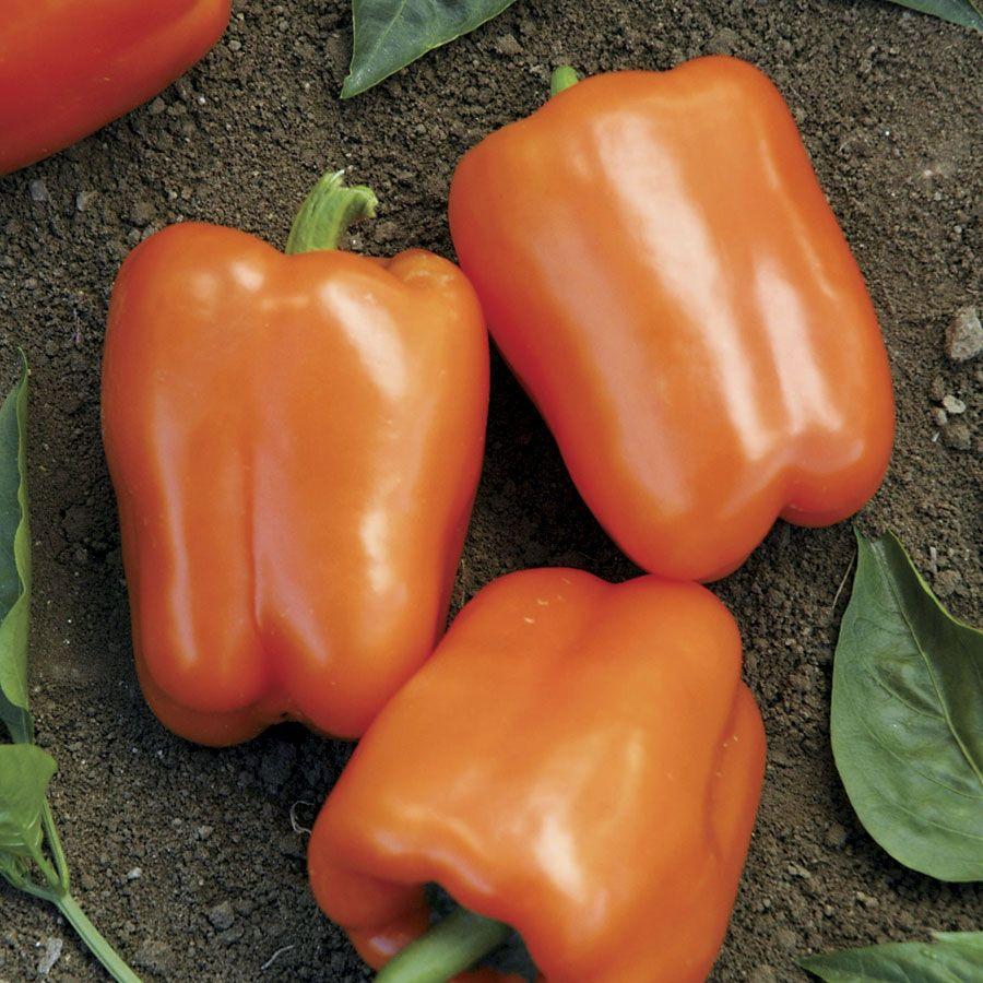 Orange Blaze Hybrid Pepper Seeds Image