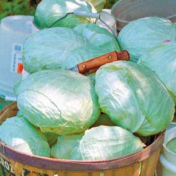 Tropic Giant Hybrid Cabbage Seeds Image