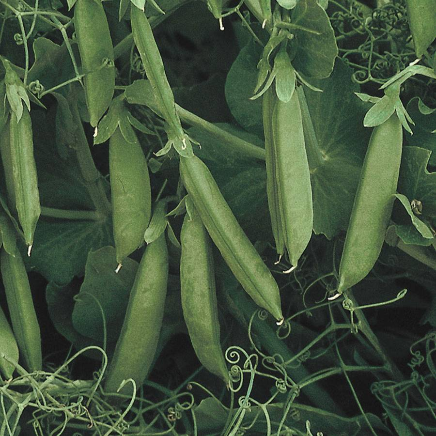 Sugar Lace II Pea Seeds Image
