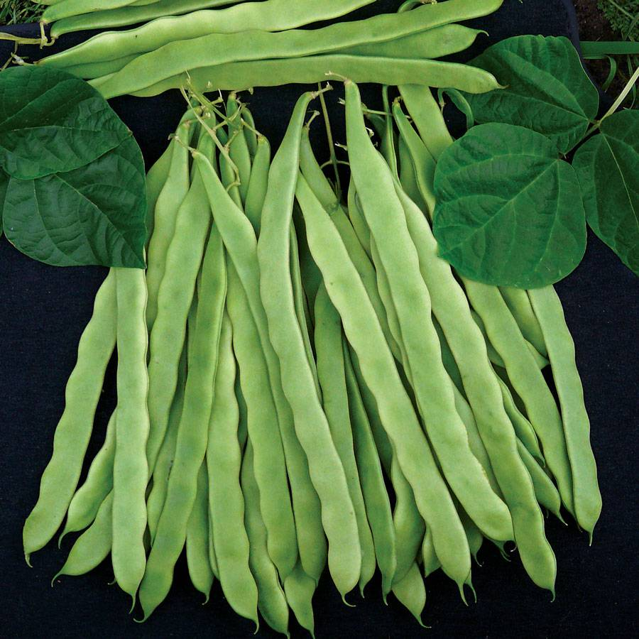 Algarve French Climbing Bean Seeds from Park Seed