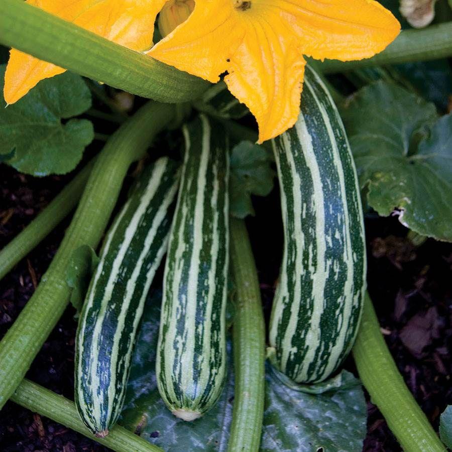 Cocozelle Organic Squash Seeds Image