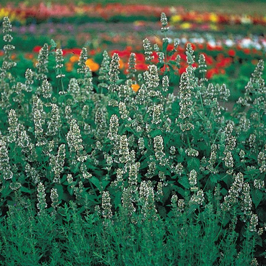 Organic Catnip Seeds Image