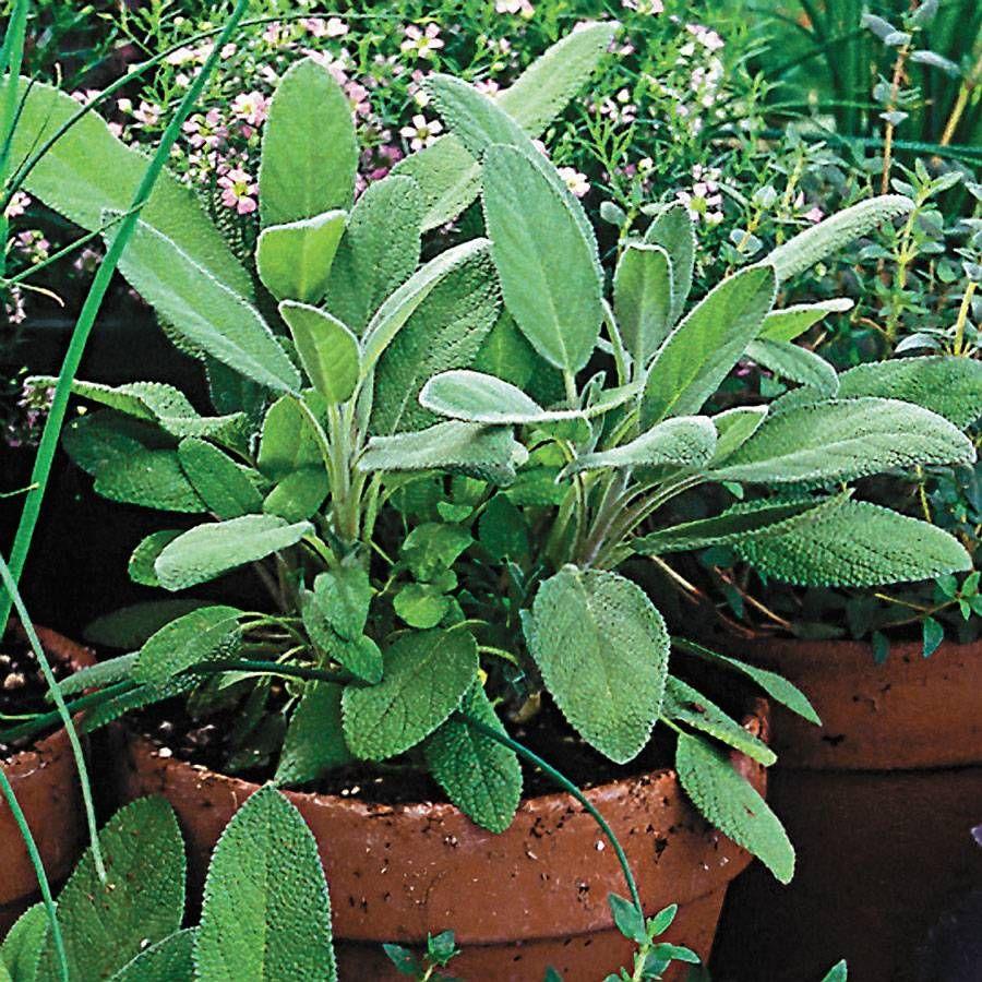 Organic Sage Seeds Image