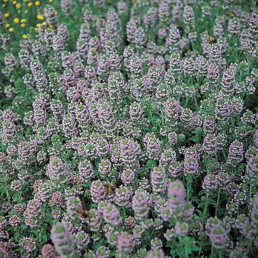 English Organic Thyme Seeds Image