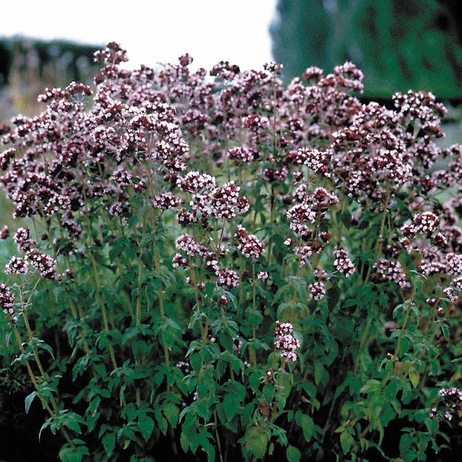 Italian Organic Oregano Seeds Image