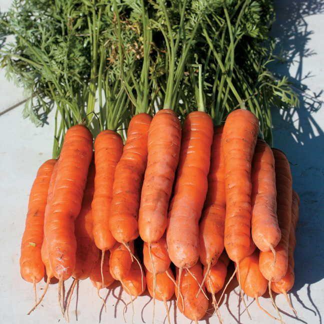 Yaya Hybrid Carrot Seeds