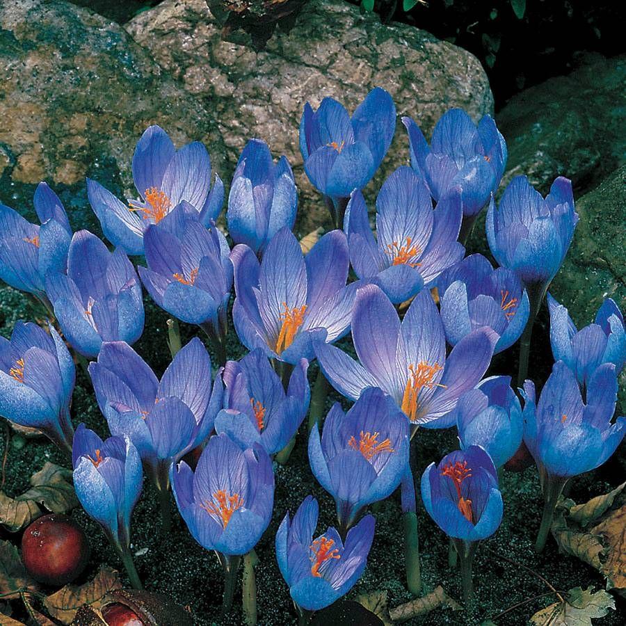 Crocus sativus Image
