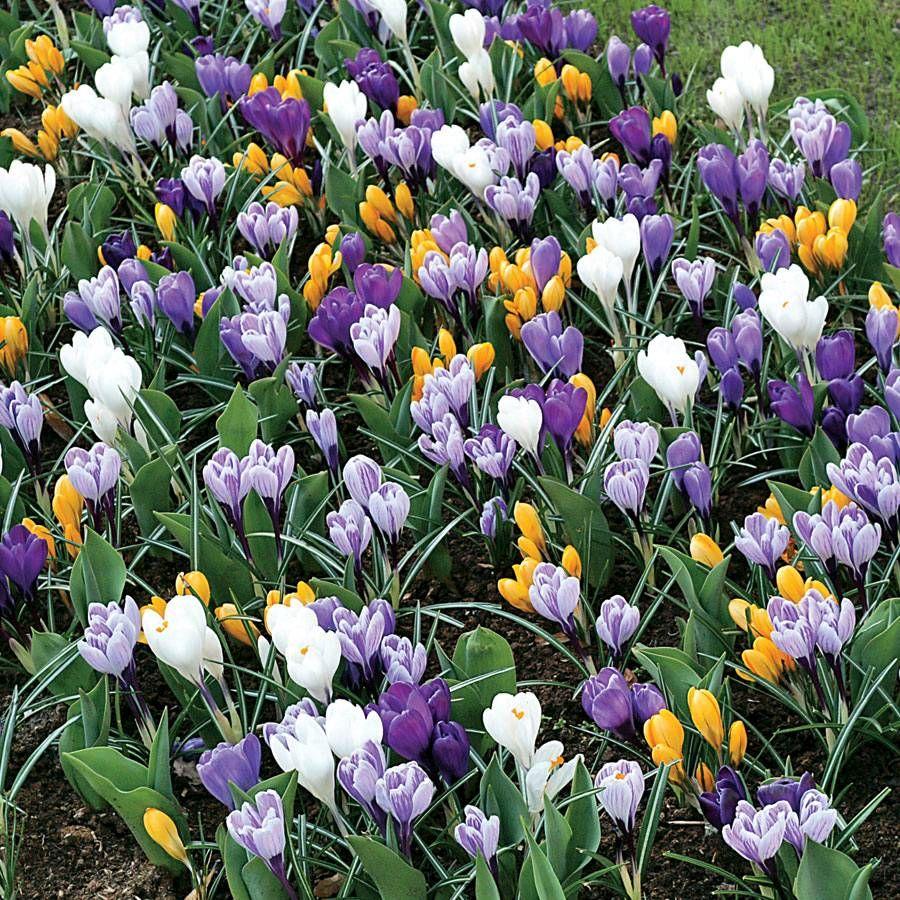 Crocus Large-Flowered Economy Mix Image