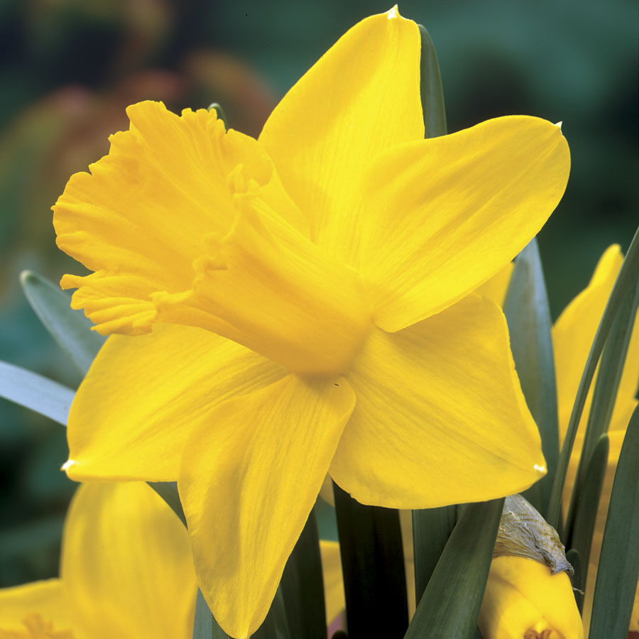 Narcissus King Alfred Improved Image