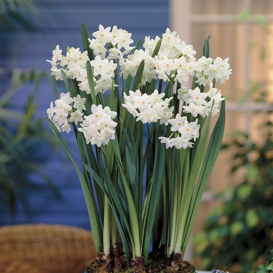 Narcissus Paperwhite Pack Of 5 From Park Seed