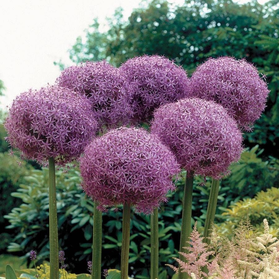 'Globemaster' Allium Image