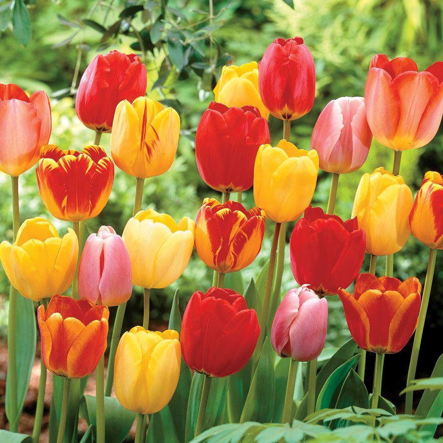 Tulip Darwin Hybrid Mix Image