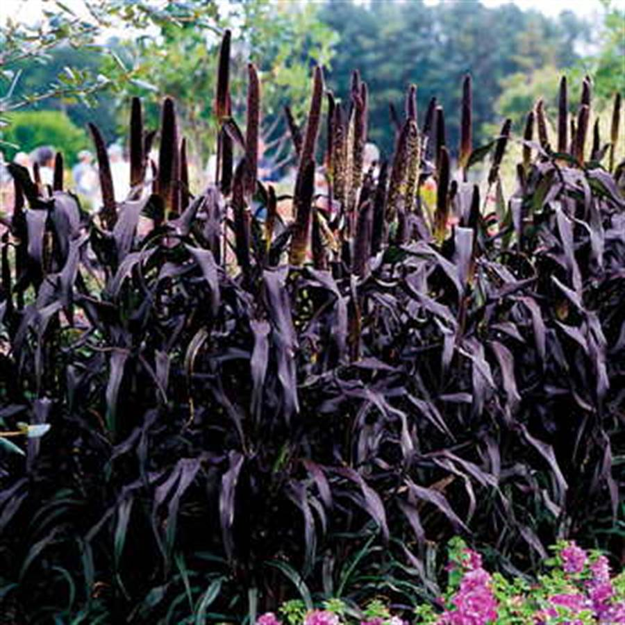 Pennisetum glaucum Purple Majesty Millet 25 seeds FREE SHIP