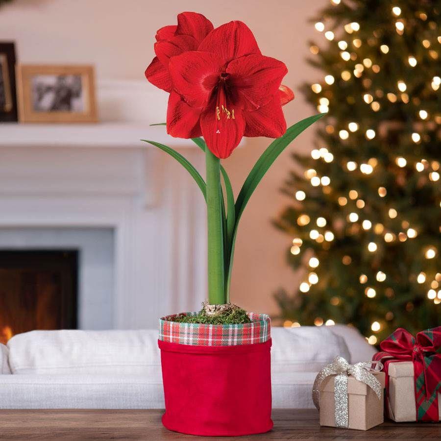Plaid Tango Single Red Lion Amaryllis Image