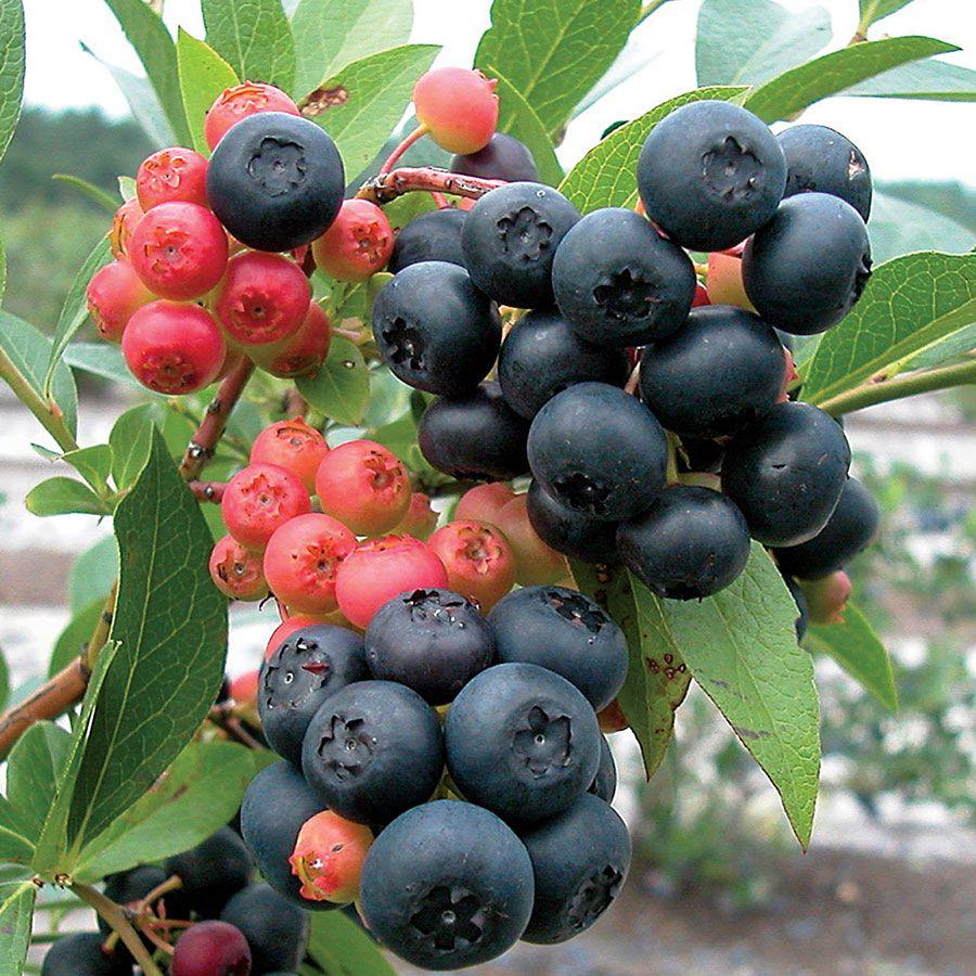 Vaccinium 'Nocturne' Blueberry Image