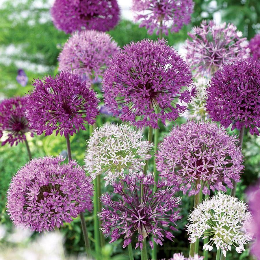 Allium Garden Box Bulb Mix Image