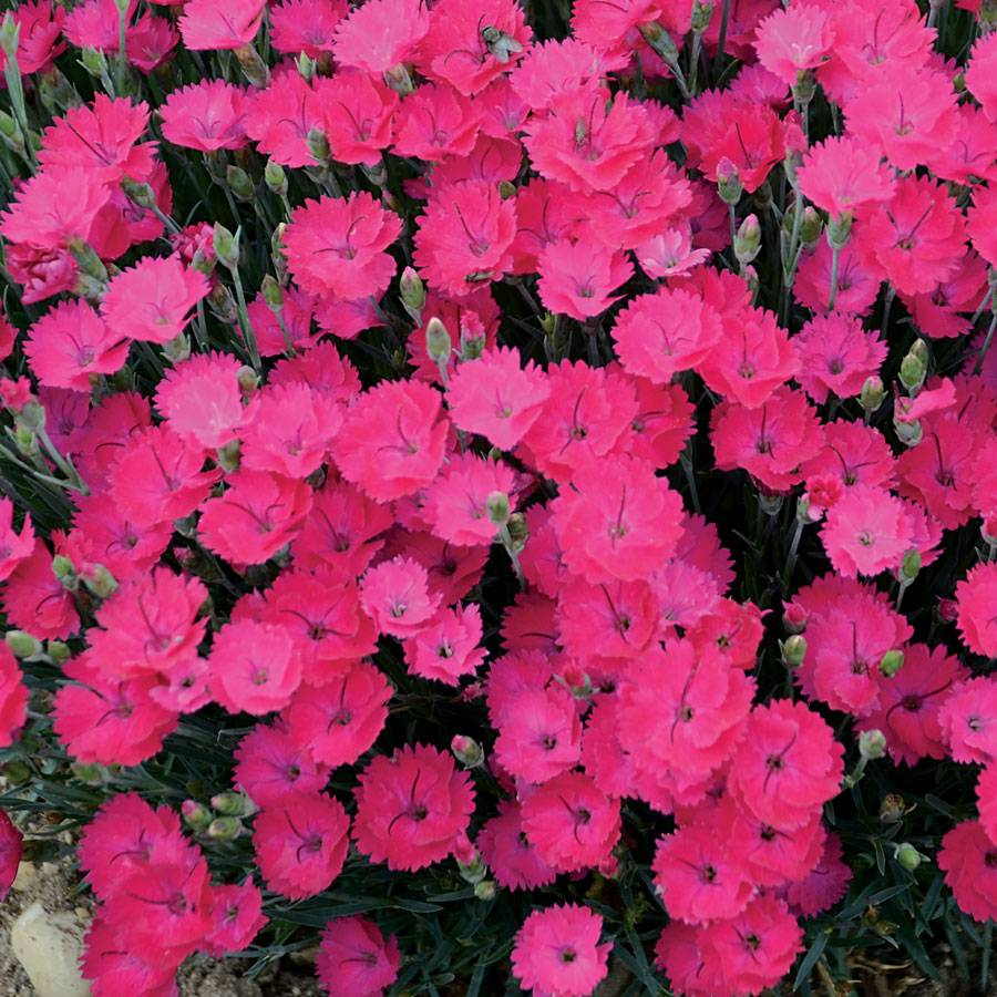 Paint The Town Magenta Dianthus From Park Seed