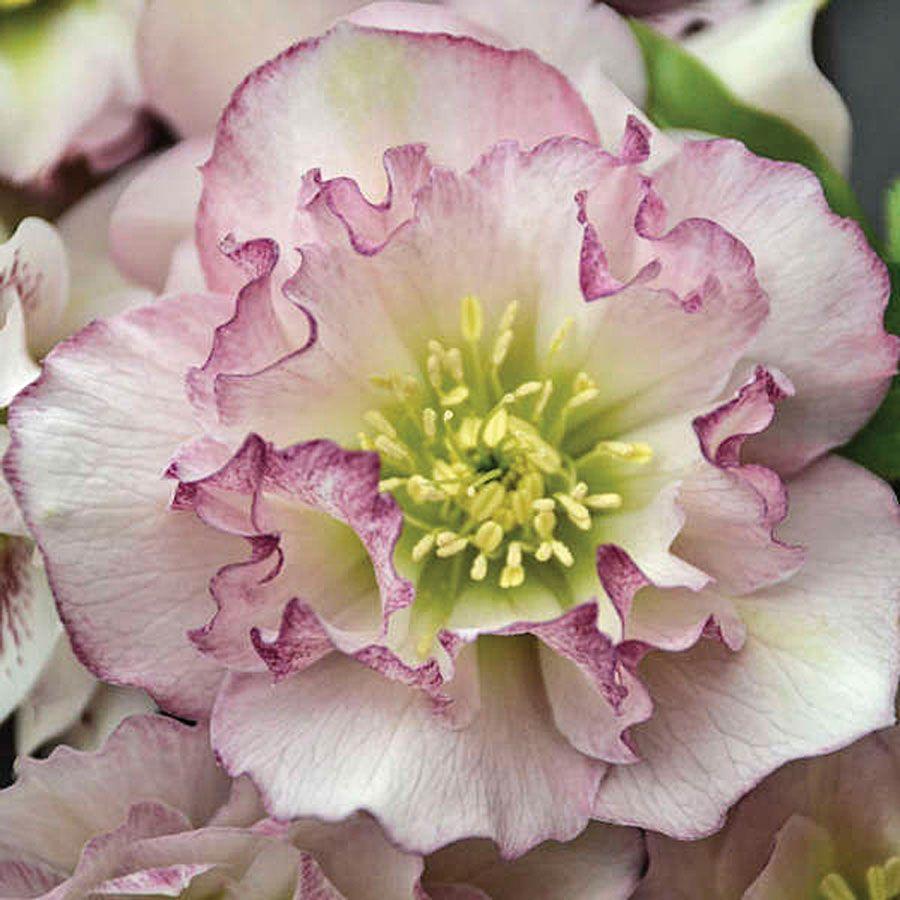Helleborus Wedding Party® 'Flower Girl' Image