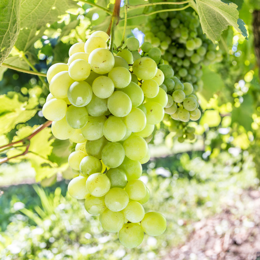 Grape Vitis Labrusca Himrod From Park Seed