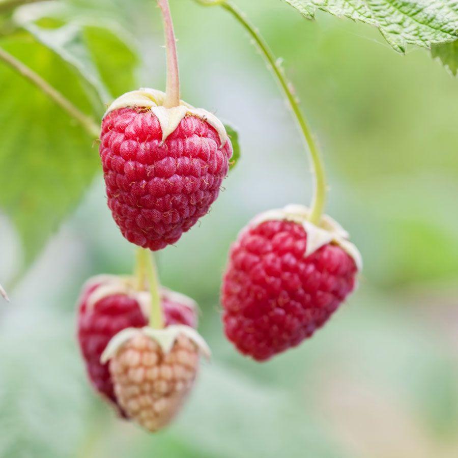 Rubus 'Willamette' Raspberry Image