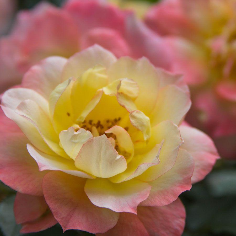 Oso Easy® Italian Ice® Shrub Rose Image