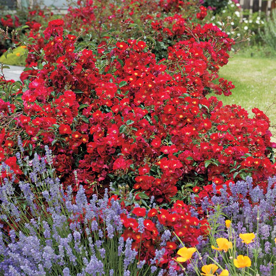 Red Ribbons™ Groundcover Rose Image