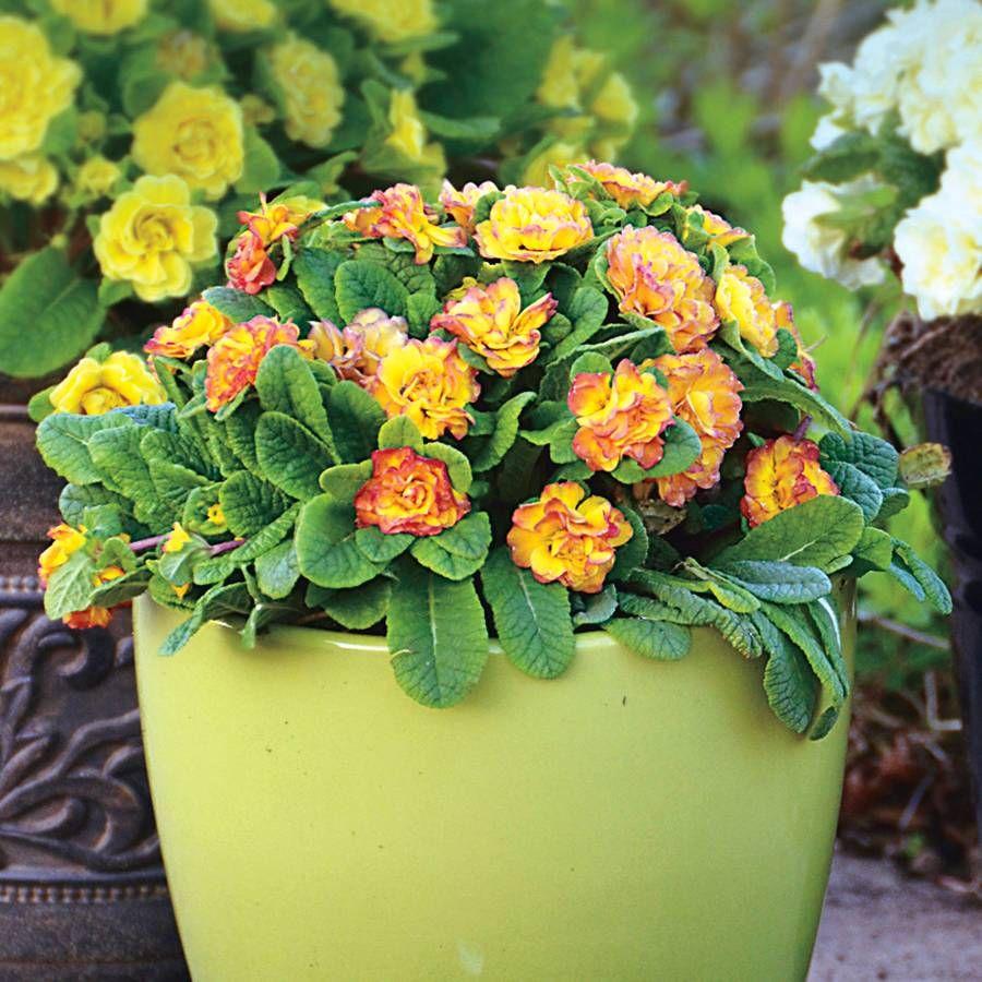 Primula Belarina® 'Nectarine' Image