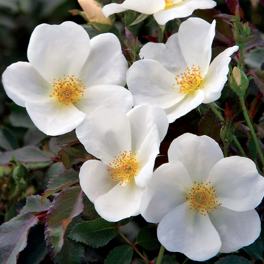 Fertilizing Knockout Roses: White Knock Out® Shrub Rose From Park Seed