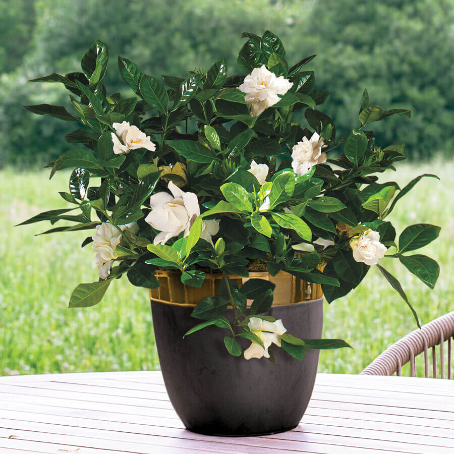 Gardenia in Modern Container Image