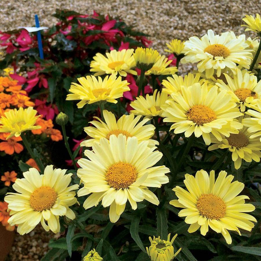 Leucanthemum REALFLOR® 'Real Sunbeam' Image
