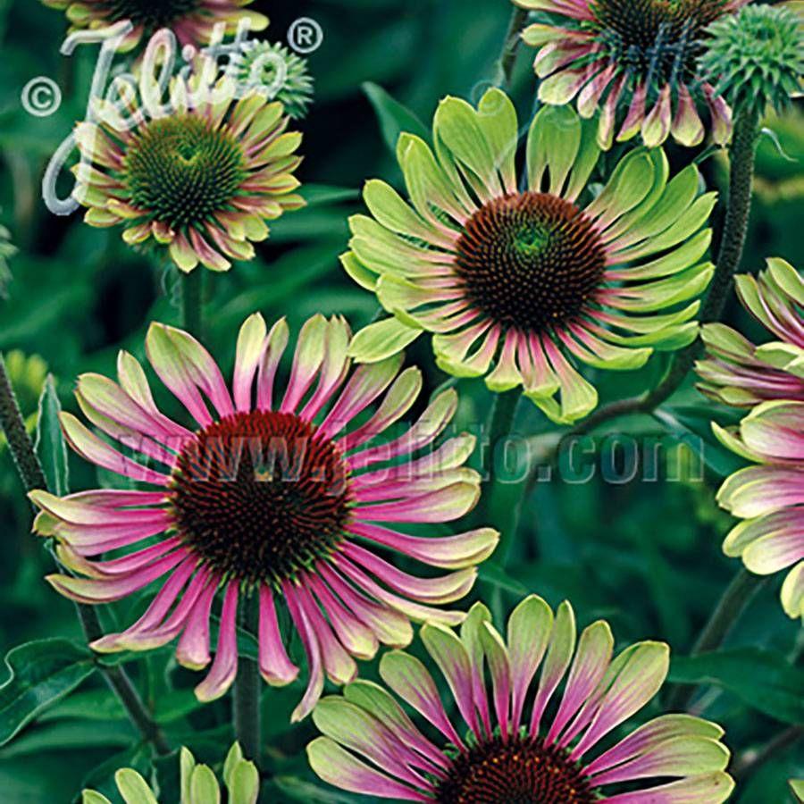 'Green Twister' Coneflower Image