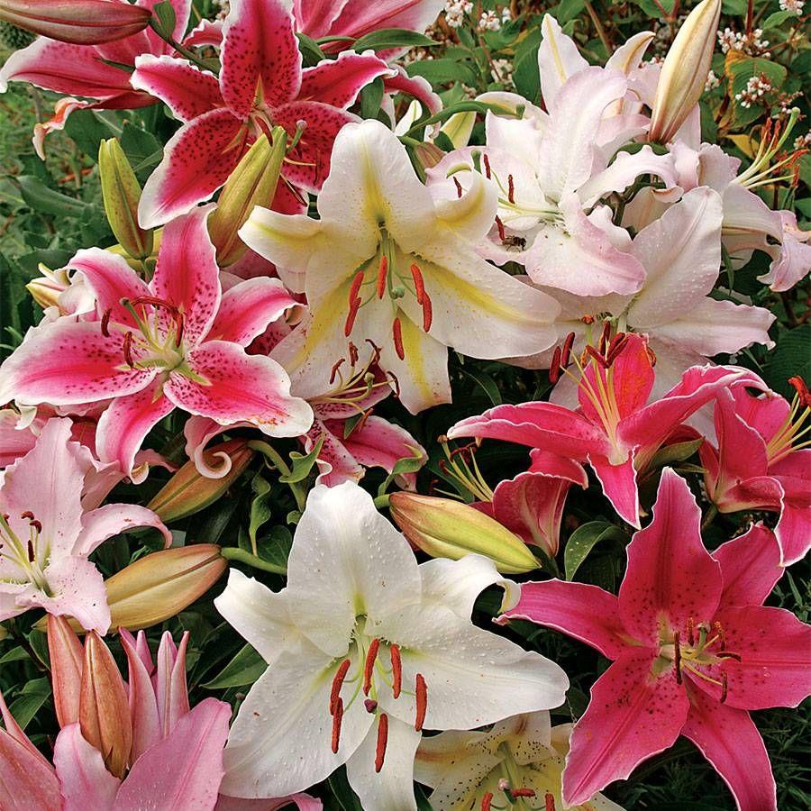 Lilium Oriental Mix Image