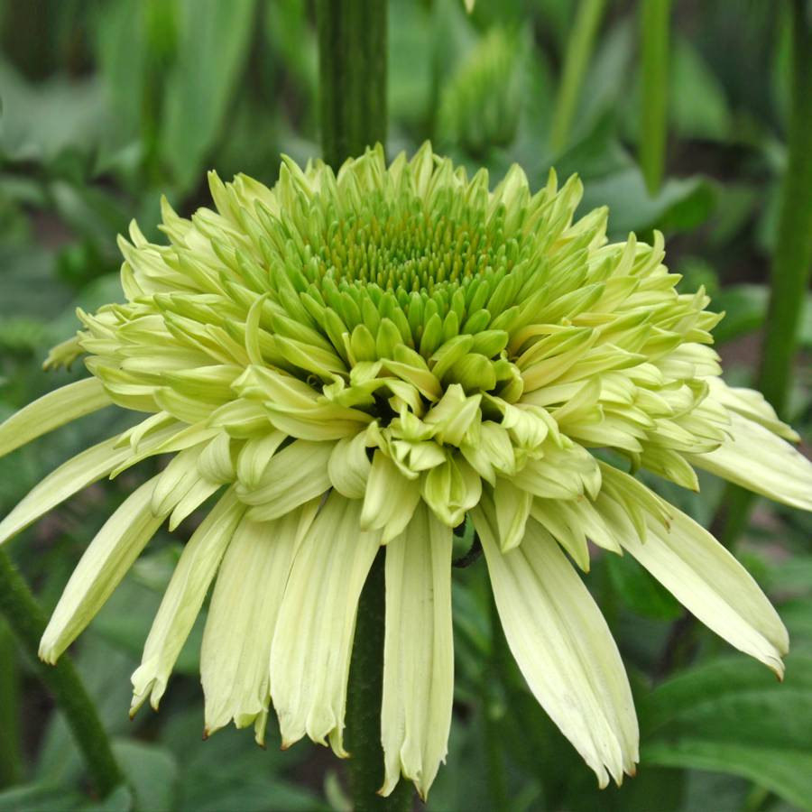 Echinacea Cone-Fections™ 'Honeydew' Image