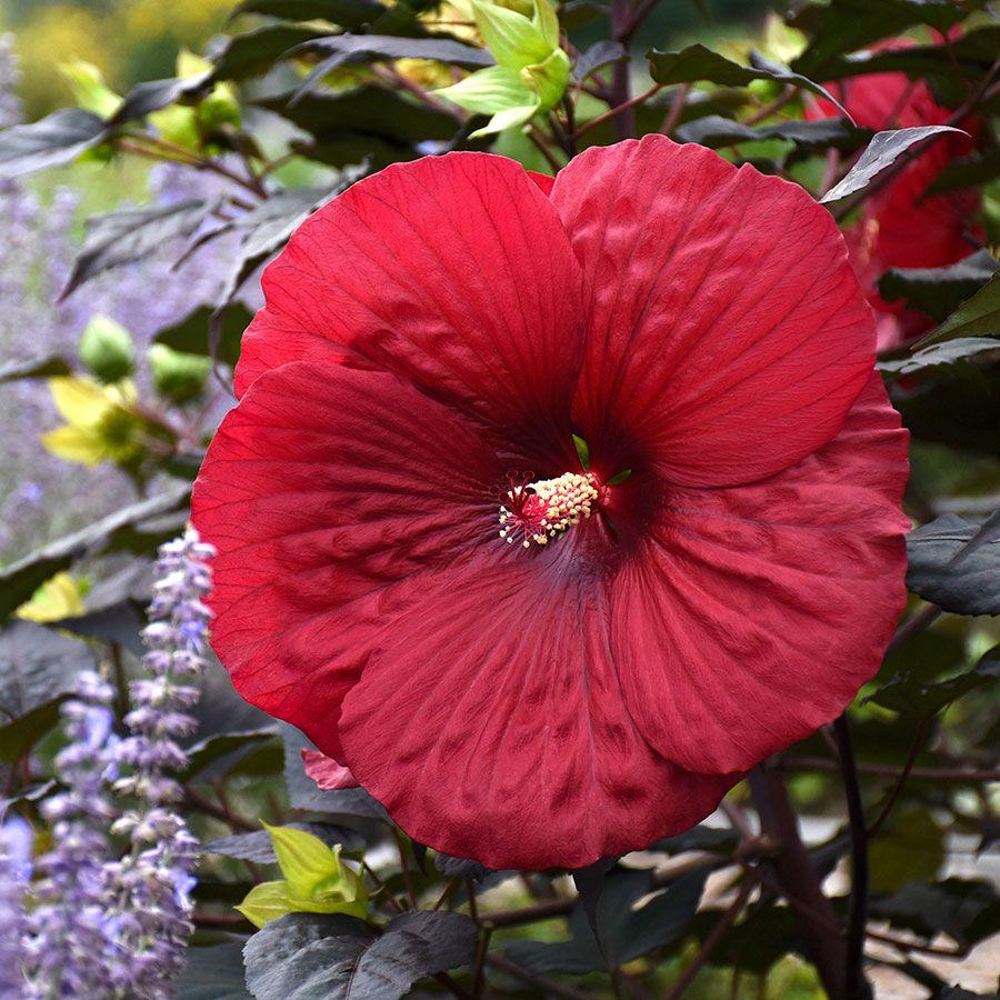 Hibiscus Summerific® Holy Grail Image
