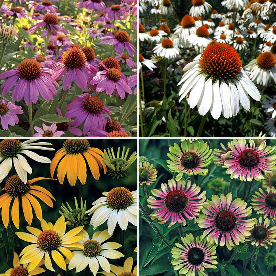 Park's Top Coneflower Collection