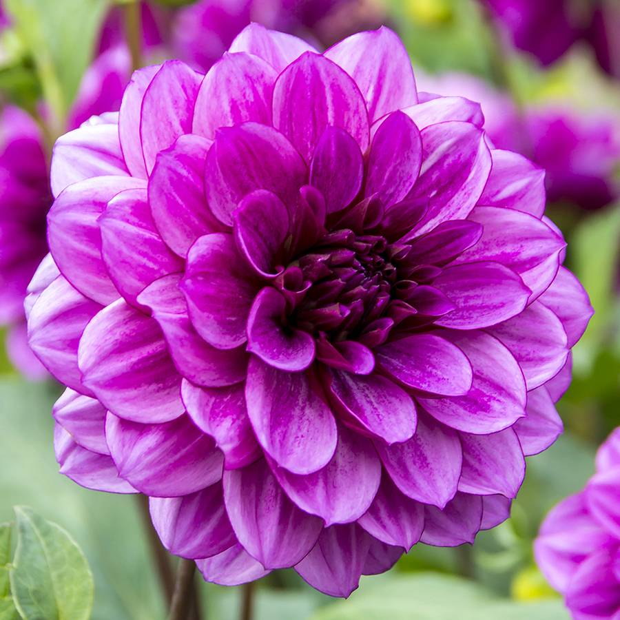 Blue Bell Dahlia From Park Seed