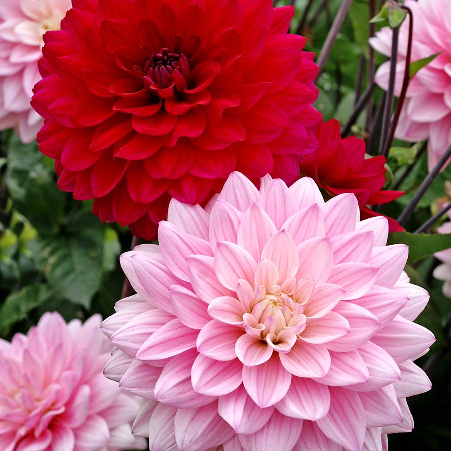Dahlia Naomi And Prospero Mix At Park Seed