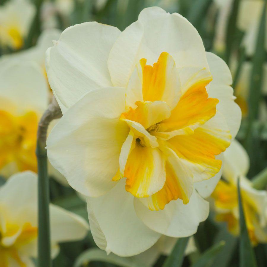 Narcissus Sorbet Image