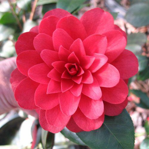 Camellia 'Tudor Baby' Image