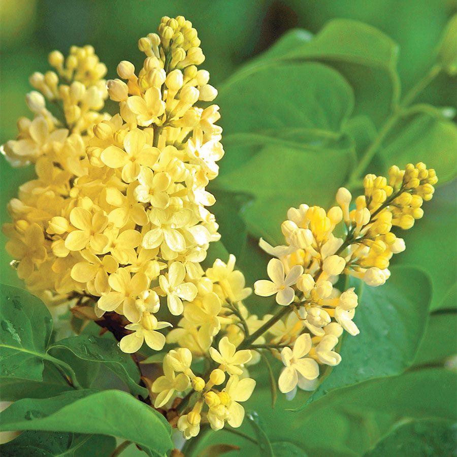 Syringa vulgaris 'Primrose' Image