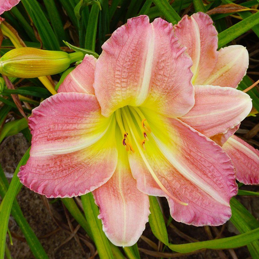 Hemerocallis 'Pink Tirzah' Image