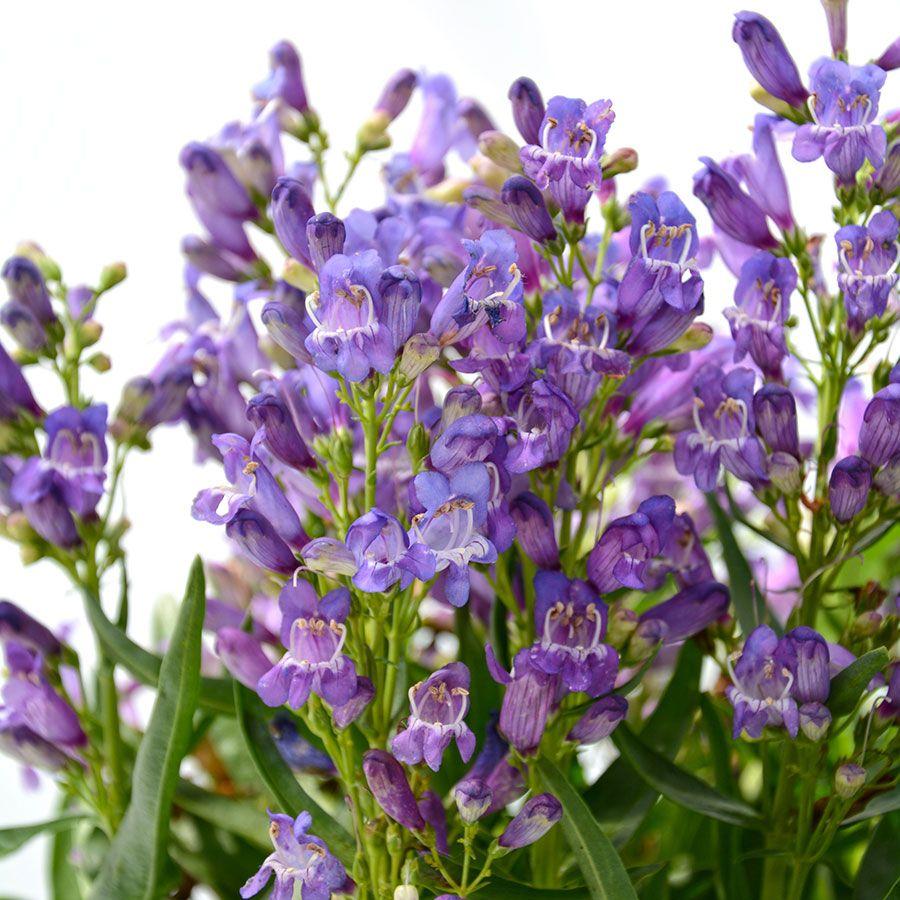 Penstemon Blue Rock Candy® Image
